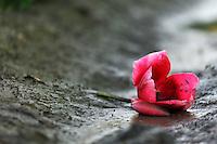 A single cut red tulip blossom fallen onto mud, Mount Vernon, Skagit Valley, Skagit County, Washington, USA