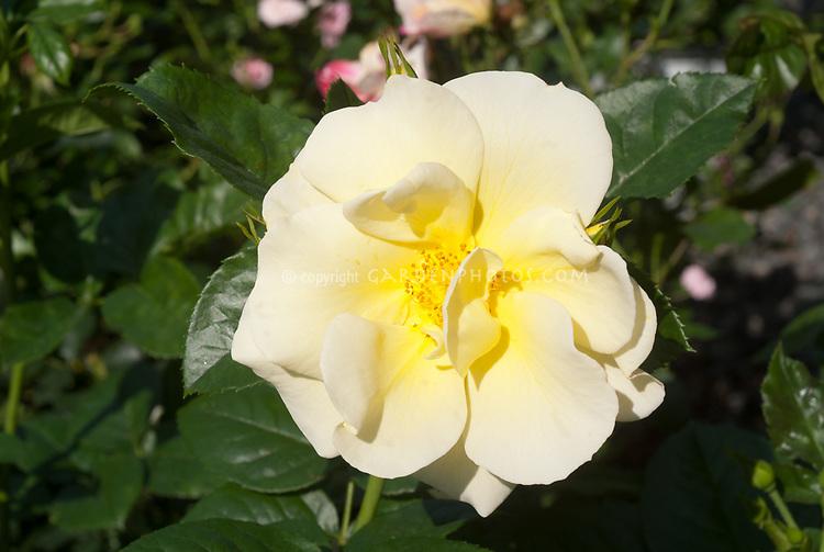 Smiley rose Large