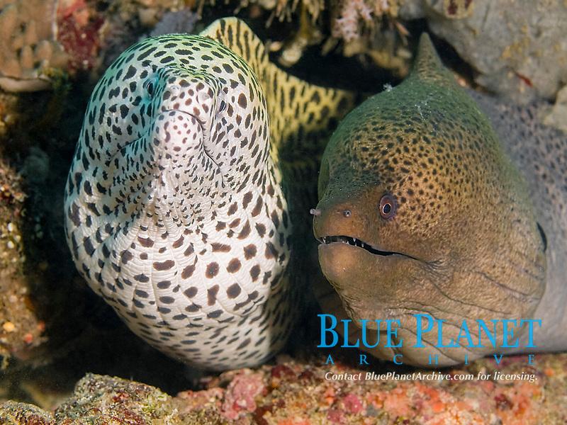 spotted moray eel, Gymnothorax isingteena, giant moray eel, Gymnothorax javanicus, South Ari Atoll, Maldives, Indian Ocean