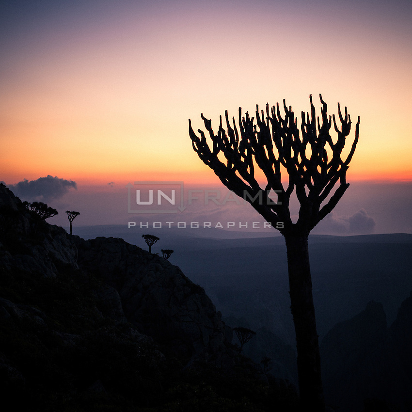 Sunset view from Skand peak in the Haghier mountains. The remains of an old Dragon Blood tree silhouettes against the dusk. The Dragon Blood tree is a Socotran icon and one of the most striking plants of the island. This strange-looking tree is one of its countless endemic species. The Dragon's blood's red sap has been used as medicine and dye for hundreds of years. Experts say the future of the species is threatened due mainly to the climate change and to a series of problems that have lead to poor reproduction of the tree.