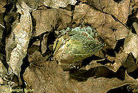 LE08-057z  Luna Moth -coccon on forest floor - Actias luna