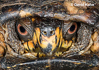 1002-0803  Close-up of Head of Male Eastern Box Turtle (Tucked in Shell), Terrapene carolina © David Kuhn/Dwight Kuhn Photography.