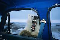"Polar Bear looking thru door window of pickup truck--kind of like ""looking for lunch.""  Alaska.  October."