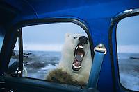 "Polar Bear looking thru door window of pickup truck--kind of like ""looking for lunch.""  Alaska.  October."