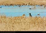 Coyote in the Grass, Bosque del Apache Wildlife Refuge, New Mexico