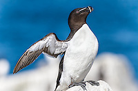 Razorbill flapping wings, perched on rock