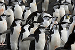 Chinstrap penguin colony on Deception Island, Antarctic Peninsula.