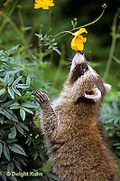 MA21-041x  Raccoon - young animal exploring - Procyon lotor