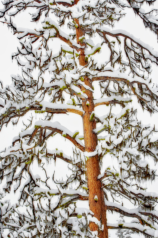 Snow with ponderosa pine trees. Elkhorn Scenic Byway. Oregon