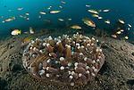 Mushroom coral with polyps exposed, Heliofungia actiniformis