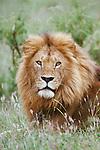 Portrait of a male lion sitting on the savannah in Maasai Mara, Kenya.