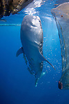 Whale Shark, Rhincodon typus, under a fishing platform, these sharks are friends with the fishermen who hand feed them at Cendrawasih Bay, West Papua, Indonesia, Pacific Ocean