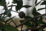 Insect larve boring into the tree, force the tree to produce the gall around them.