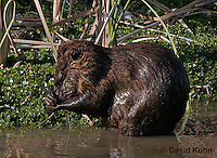 0715-0803  Nutria (syn. Coypu), Myocastor coypus © David Kuhn/Dwight Kuhn Photography