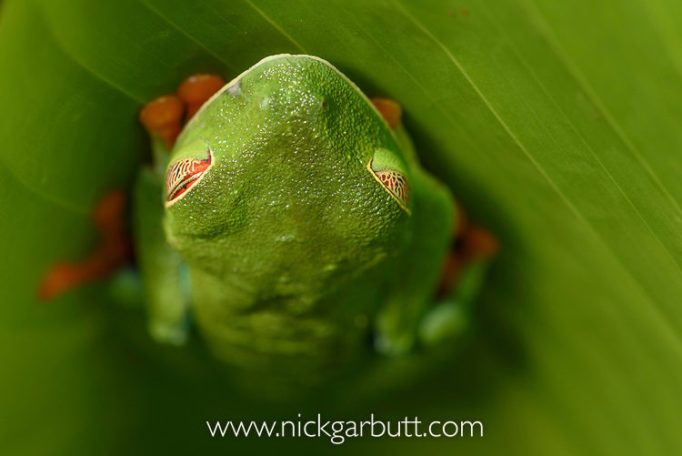 Female red-eyed tree frog (Agalychnis callidryas) sleeping - Caribbean slope race (blue flanks). Mid-altitude rainforest near Aranal, central Costa Rica.