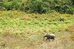 African Forest Elephant (Loxodonta africana cyclotis) bull walking in savanna, Lope National Park, Gabon