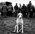 The Duke of Beauforts Hunt. The Beaufort hunt fifteen and a half couple of hounds, though 60 couple are kept in kennels. Luckington, Gloucestershire.