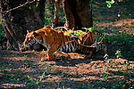 A bengal tiger slides beneath a tree limb, her attention focused on the forest in front of her in Bandhavgarh National Park, Madhya Pradesh, India.