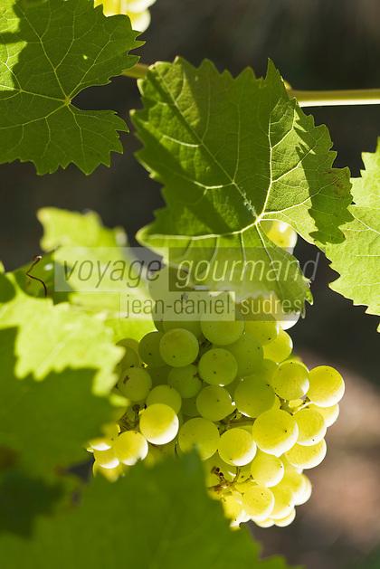 Europe/France/Midi-Pyrénées/32/Gers/env de Montréal: le vignoble -détail grappe de raisin - Vignoble d'Armagnac