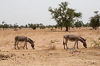 Senegal. Donkeys Graze along Road from Dakar to Touba.