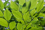 Backlit leaves of an American hornbeam growing in northern Wisconsin.