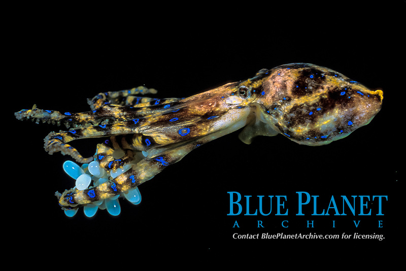 venomous blue-ringed octopus with eggs, Hapalochlaena maculosa, carries up to 50 eggs for 6 months under arms, South Australia