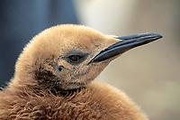 king penguin chick, Aptenodytes patagonicus,South Georgia Island, south Sandwich Islands, United Kingdom, British Overseas Territories, South Atlantic