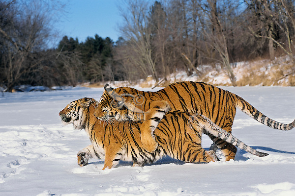 Siberian Tigers (Panthera tigris) mating behavior