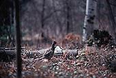 Ruffed grouse or partridge, Bonasa umbellus, in the Upper Peninsula of Michigan.