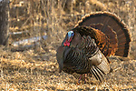 Eastern wild turkey in northern Wisconsin