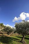 Israel, Jerusalem mountains, Olive grove on Mount Eitan