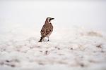 Horned Lark standing on the snow covered ground.