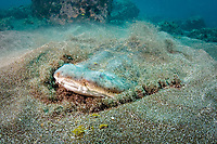 Pacific angelshark, Squatina californica, burrying itself into sands for camouflage and ambush for a prey, Channel Islands National Marine Sanctuary, Channel Islands National Park, California, USA, Pacific Ocean