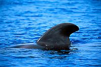 short-finned pilot whale, bull dorsal fin, Globicephala macrorhynchus, off Kona Coast, Big Island, Hawaii, Pacific Ocean