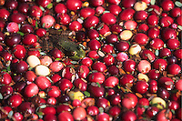 Green Frog, floating among rippened Cranberries, Chatsworth, New Jersey