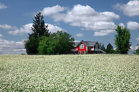 Red farmhouse surrounded by white buckwheat crop in Washington County Oregon