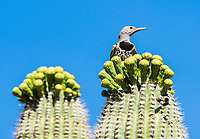 A female Gilded Flicker, Colaptes chrysoides, perches on a Saguaro cactus, Carnegiea gigantea, in Saguaro National Park, Arizona