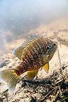 Pumpkinseed male guardian on nest with eggs, vertical.