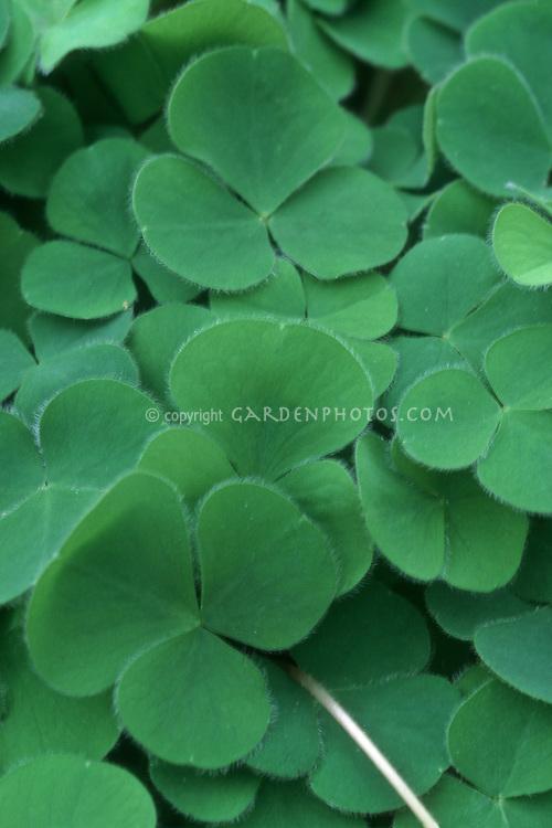 Shamrock Oxalis rupestris clover iconic symbol of Ireland and good luck