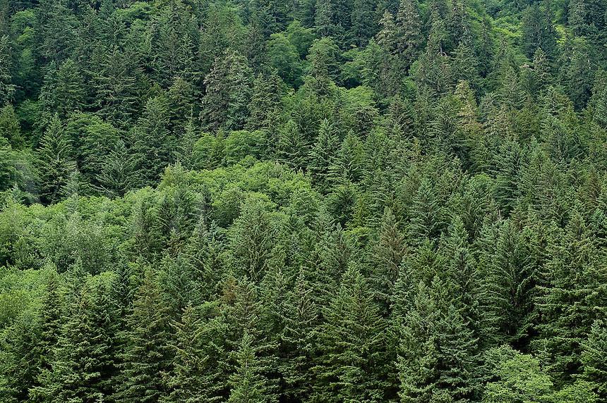 Spruce forest, Alaska, USA
