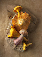 Fresh picked wiild  chanterelle or girolle (Cantharellus cibarius), Pied de Mouton Mushrooms (hydnum repandum) or hedgehog mushrooms, Pied Bleu, blewitt or blue foot mushrooms (Clitocybe nuda)