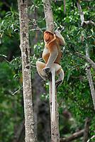 Proboscis Monkey (Nasalis larvatus), male, Kinabatangan river, Sabah, Borneo, Malaysia
