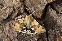 Karden-Sonneneule, Kardeneule, Kardensonneneule, Heliothis viriplaca, Heliothis dipsacea, marbled clover. Eulenfalter, Noctuidae, noctuid moths, noctuid moth