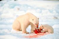 polar bears, Ursus maritimus, mother and cub feeding, Spitzbergen, Norway
