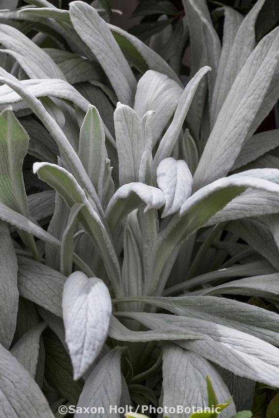 Gray leaf foliage, Lambs Ear Stachys 'Bella Grigio'