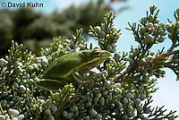 0605-0917  American Green Treefrog Climbing Tree at Outer Banks North Carolina, Hyla cinerea  © David Kuhn/Dwight Kuhn Photography