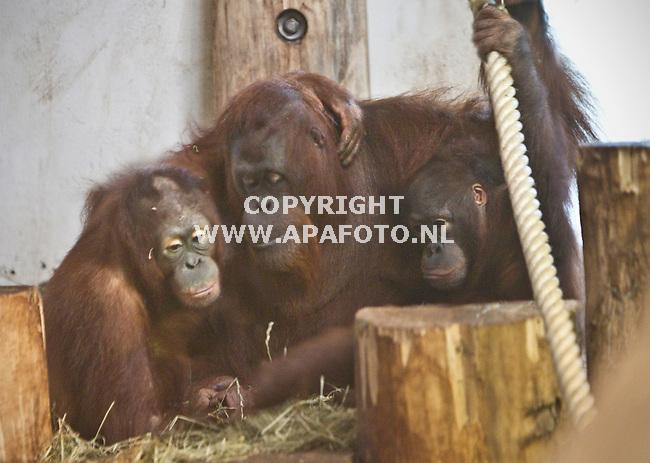 Apeldoorn, 180211<br /> Gorilla Karl mocht vandaag weer bij zijn familie. Sandy, kinderen Samboja en Dayang en adoptiekind Binti. Vanaf het moment dat hij de gezamelijke ruimte binnenkomt toont hij geen interesse in de rest maar de rest ook niet in hem. Hij is moe en gaat snel liggen. <br /> op de foto Sandy, kinderen Samboja en Dayang<br /> Foto: Sjef Prins - APA Foto