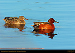Cinnamon Teals, Male and Female, Drake and Hen, Newport Back Bay, Southern California