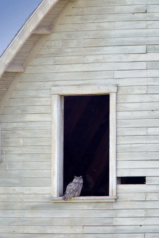 Great horned owl in window of barn. The Palouse, Washington