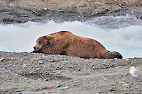 A brown bear takes a nap at the McNeil River Falls,  in Alaska's McNeil River State Game Sanctuary.